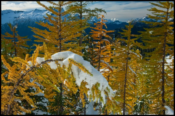 larch trees on Carne Mountain